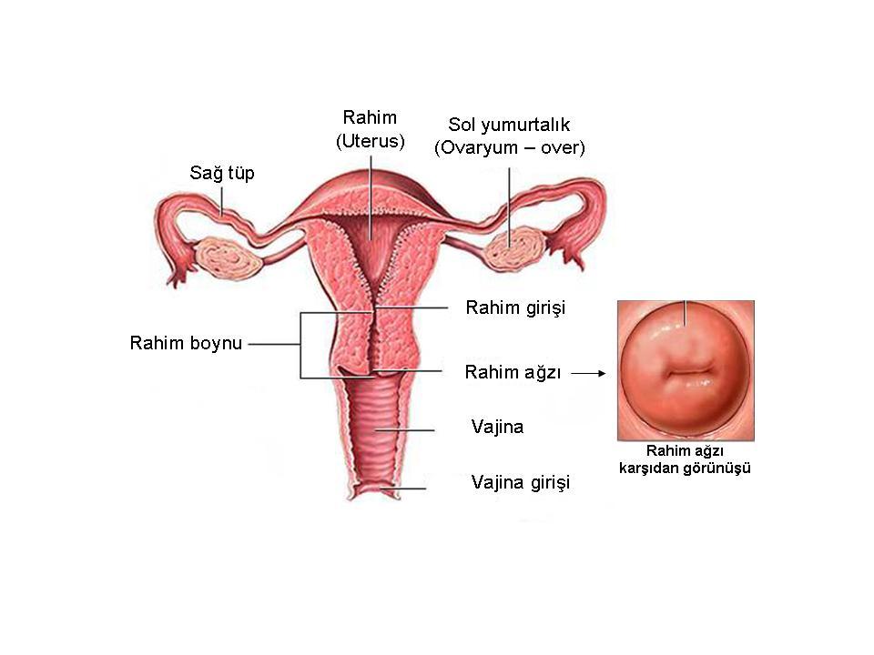 anatomi2a.jpg